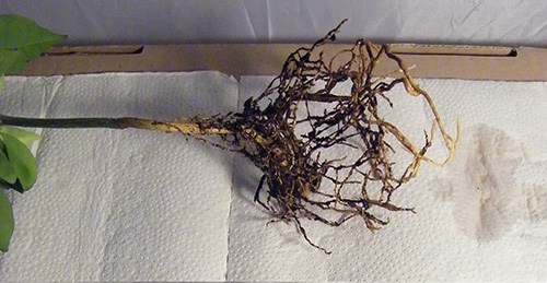 Roots with soil removed